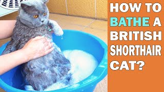 HOW TO BATHE A BRITISH SHORTHAIR CAT?!?!