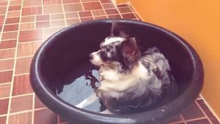 ВЛОГ Жизнь собак в Таиланде | Чихуахуа Софи