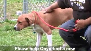 Linus Aka Onyx The Terrific Boxer Hound Puppy Ahs Tinton Falls, N.j., Apr. 2,2012