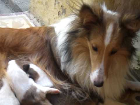 Mini Collie With Her Babies Youtube