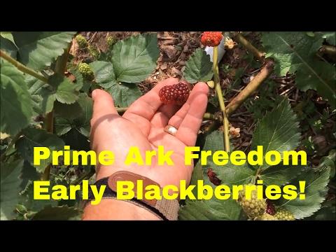 EARLY BLACKBERRIES! ~ Prime Ark Freedom Blackberries