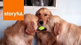 Three Cute Golden Retrievers Hug Over Tennis Ball (storyful, Dogs)