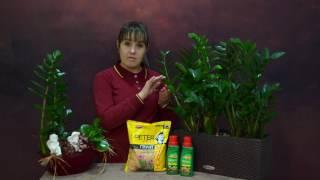 видео Замиокулькас цветок безбрачия: особенности выращивания растения