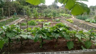 Colheita Orgânica e Dicas de Plantio de Couves e Alfaces