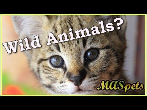 Are Pet Hybrid Cats Wild Animals?