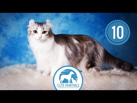 Top 10 - Smallest Cat Breeds In Existence