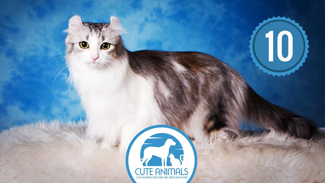 Top 10 Smallest Cat Breeds In Existence