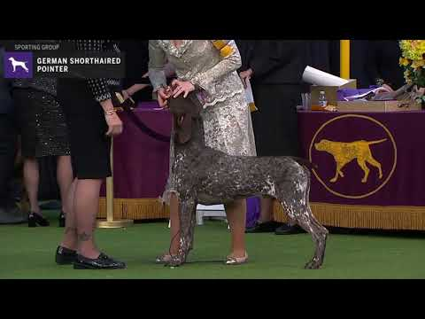 Pointers German Shorthaired | Breed Judging 2020