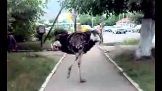Бешеный страус
