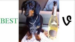 Crusoe Celebrity Dachshund 2015 Vines (all Vines) Compilation (vine) Hd