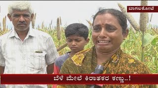 Bagalkote: Miscreants destroy a crop by spraying a chemical , farmers in tears