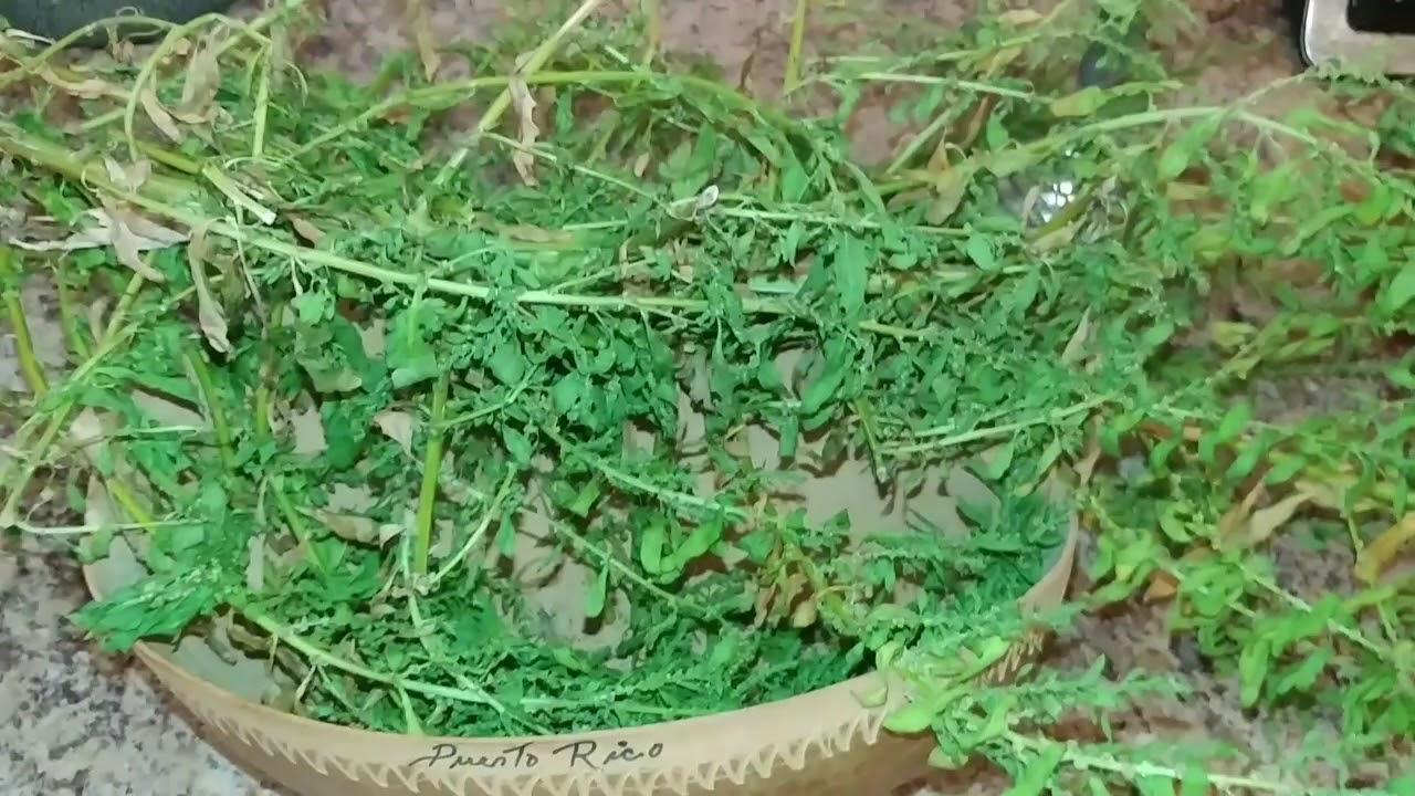 Epazote Apazote Herb Spiritual Bath & Floor Wash