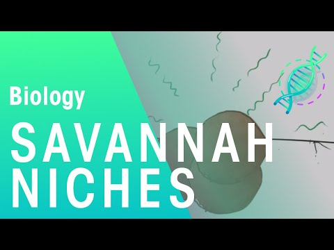 Ecology: Niches in the Savannah Ecosystem | Biology for All | FuseSchool