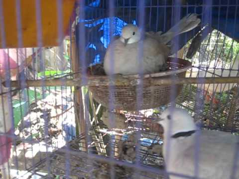 chim cu gáy sinh sản