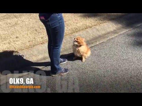 Small dogs can so off leash heel!!! | Pomeranian | Georgia Dog Trainers