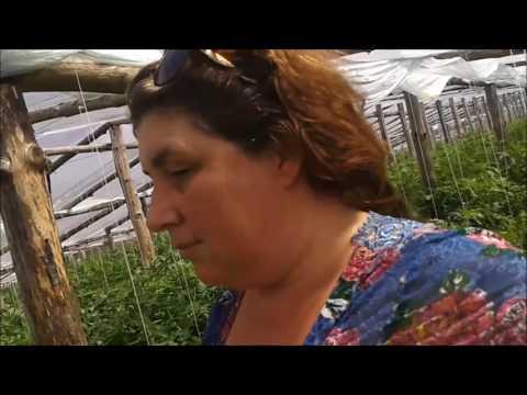 Вопрос: Почему помидоры в Беларуси выращивают в теплицах?