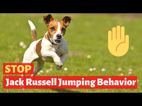 How to stop your Jack Russell Terrier from Jumping on you? Easy yet Effective Tips