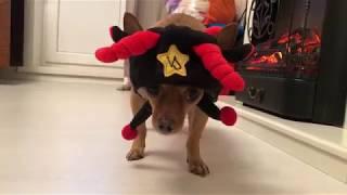 Веселая шапка для собаки) смешной щенок в шапке) той терьер) Забавные животные