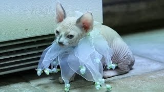 Sphynx Kitten In A Flower Costume Falls Asleep