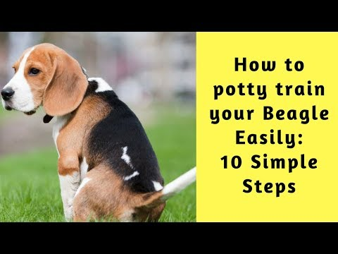 how-to-potty-train-your-beagle-easily:-10-simple-steps