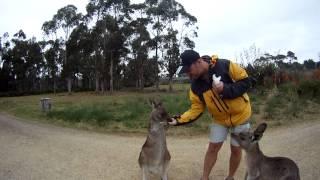Kangury to groźne i niebezpieczne stwory