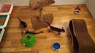 Абиссинские котята. Обычный вечер. Питомник ABYTRISS