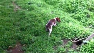 Обучение охотничьих собак
