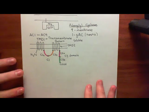 The Adenylyl Cyclase / Protein Kinase A Pathway Part 5