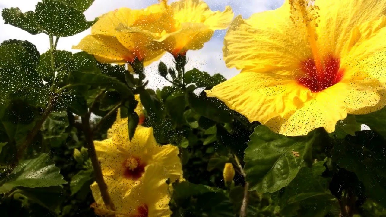 Maui island flowers found throughout the town of kihei video youtube maui island flowers found throughout the town of kihei video izmirmasajfo