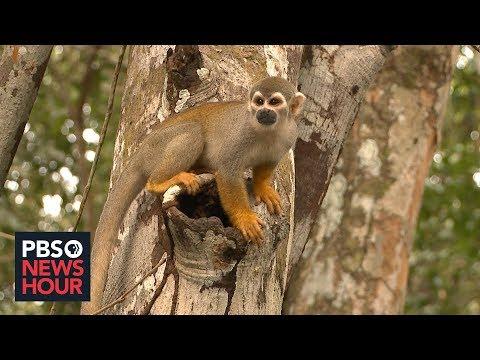 In Brazil, fires and deforestation threaten Amazon species' survival