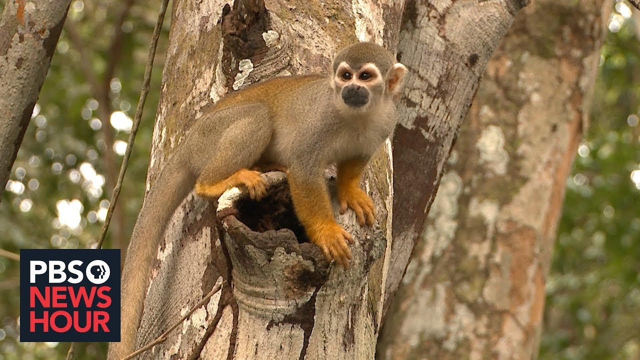 In Brazil, deforestation threatens Amazon species' survival