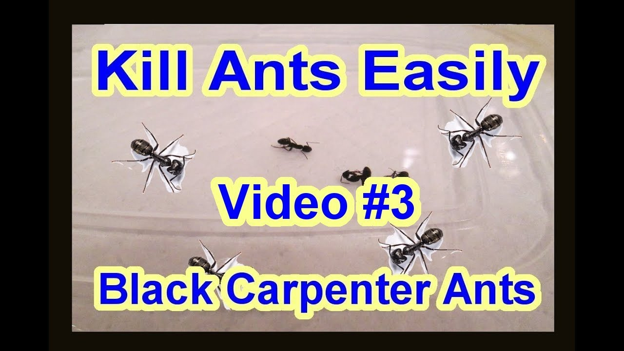 Easy Diy How To Get Rid Of Black Carpenter Ants Garden Termite Kind Video 3 Update