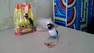 Приручение попугая-неразлучника. Часть первая.