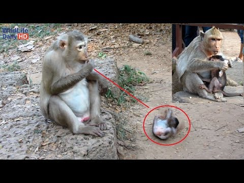 Sasha Young Mother Monkey With Jessie Dating Tourist At Bayon Temple