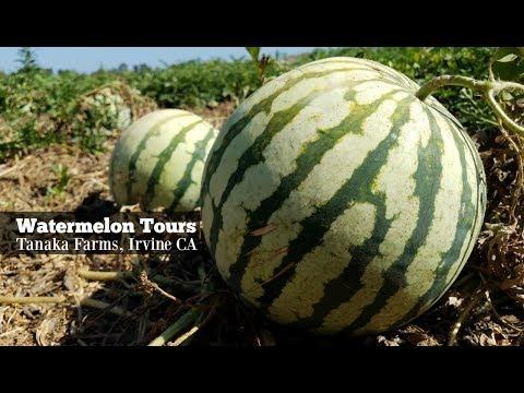 Watermelon Tours At Tanaka Farms, Irvine, CA