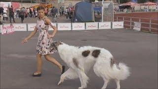 русская псовая борзая видео с выставки собак