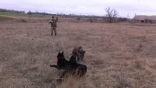 Первая притравка щенков Русско-Европейских Лаек