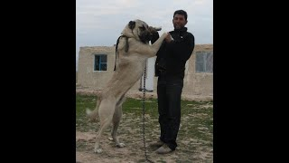 Livestock guardian dogs for sale - livestock guardian dogs for sale Turkish Boz Shepherds