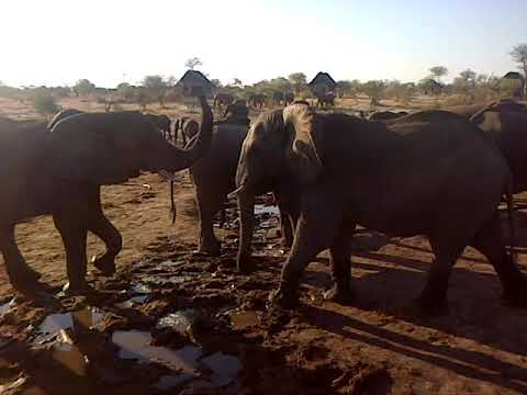 Elephants at a lodge in Botswana