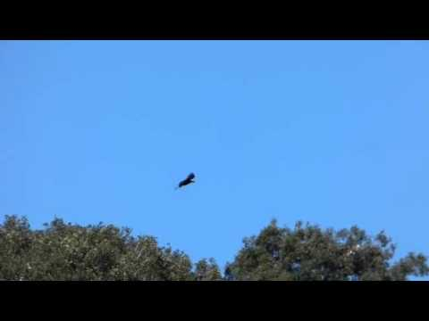 Spanish Imperial Eagle at the nest