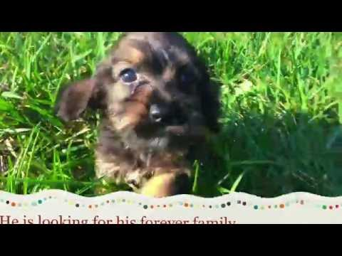 Toby The Mini Cocker Schnoodle Puppy For Sale In NC