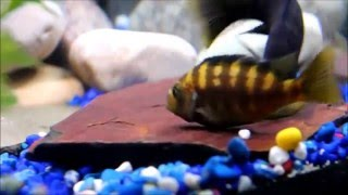 Крабро (Pseudotropheus crabro)(, 2016-05-22T11:06:46.000Z)