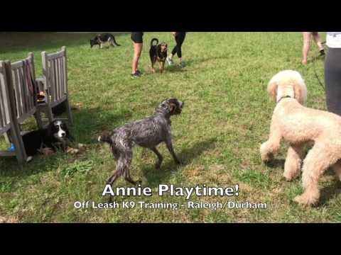 "2yo German Wirehaired Pointer ""Annie"" Before and After - Raleigh Durham Dog Training"