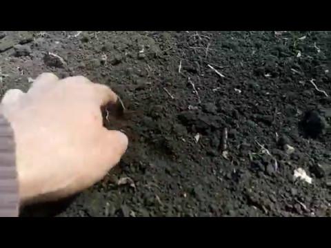 Как посеять гречку