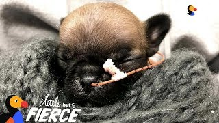 Tiniest Frenchie Puppy Is Pure Inspiration | The Dodo Little But Fierce