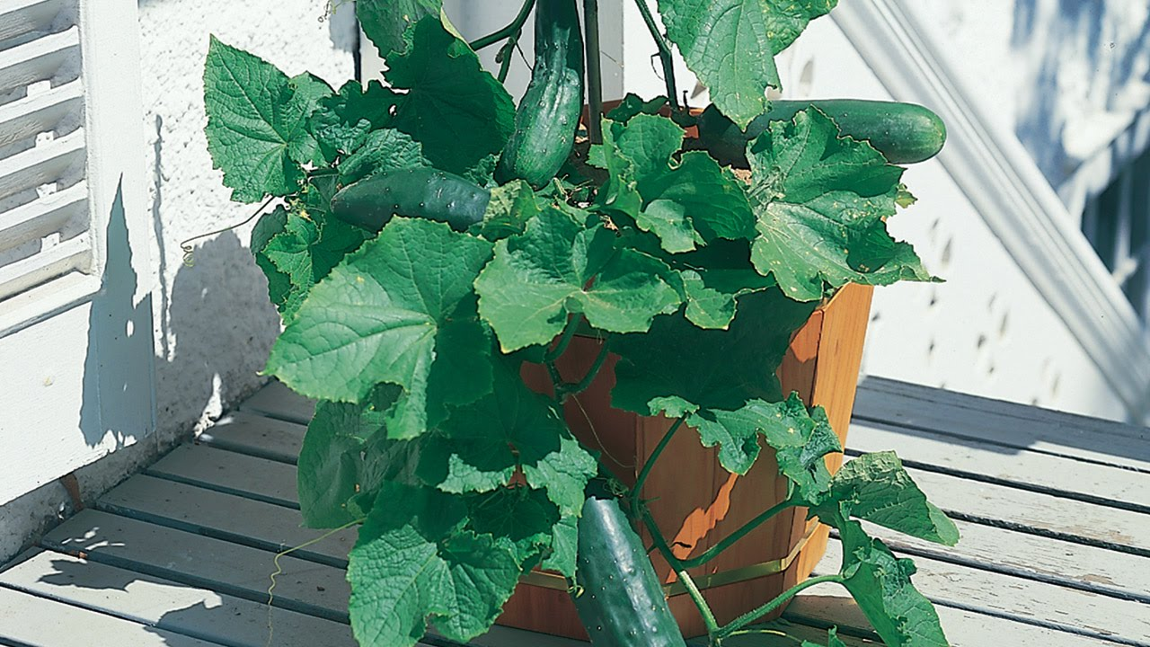 Growing Cucumbers In A Container   YouTube