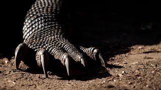 Комодский ВАРАН В ДЕЛЕ! Коварный дракон с острова Комодо! смотреть онлайн в хорошем качестве - VIDEOOO