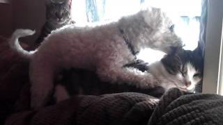 My stupid dog raping my cat