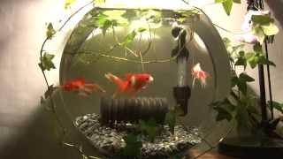 HD壁紙動画☆ほのぼのスクリーンセーバーで癒し!!金魚 ロング45分金魚鉢 Goldfish thumbnail
