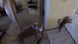 Pitbull And Bengal Cat Go For A Walk